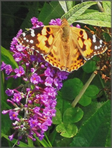(2) Painted Lady
