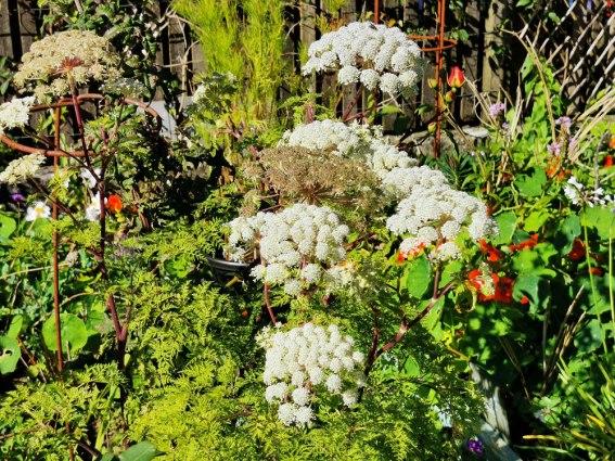 Selinum wallichianum (2)