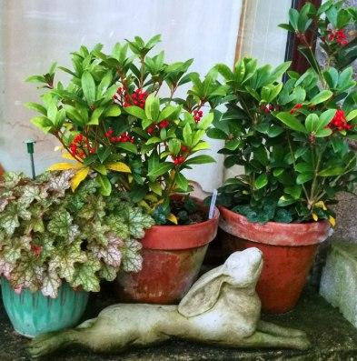 skimmia-(two-plants)