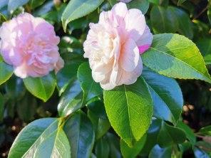 camellia (3)