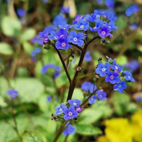 Brunnera Sea Heart