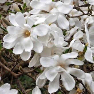Magnolia stellata 'Donna'