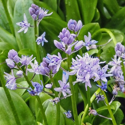 Scilla liliohyacinthus / Pyrenean Squill