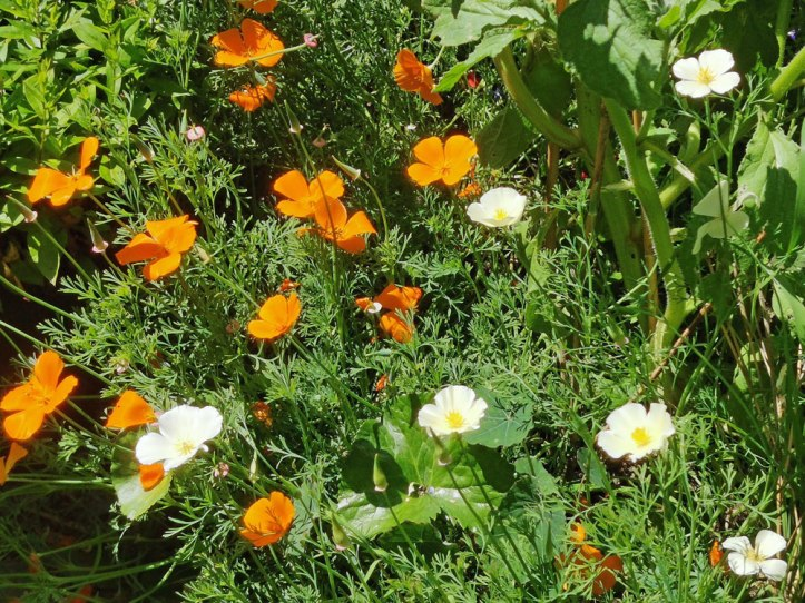 californian poppies - Eschscholzia californica
