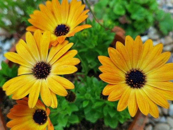 Osteospermum 'Sunshine Beauty'