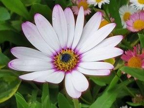 Osteospermum 'Snow Pixie' (white)