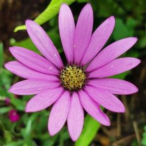 Osteospermum jucundum var. compactum (pink)