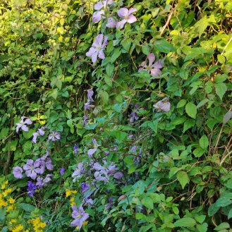 Clematis Prince Charles