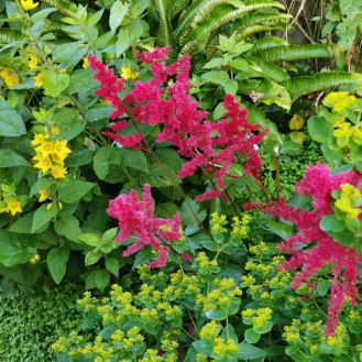 Astilbe × arendsii 'Fanal'
