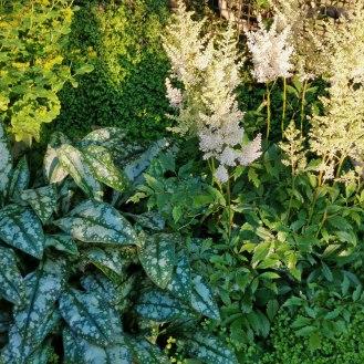 Astilbe × arendsii 'Weisse Gloria' and pulmonaria