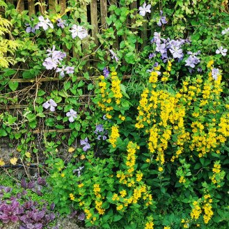 Yellow loosestrife and clematis