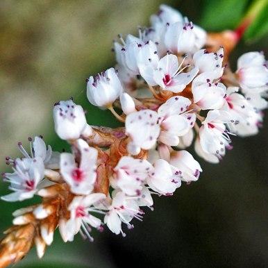 persicaria (1)