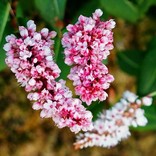 persicaria (2)