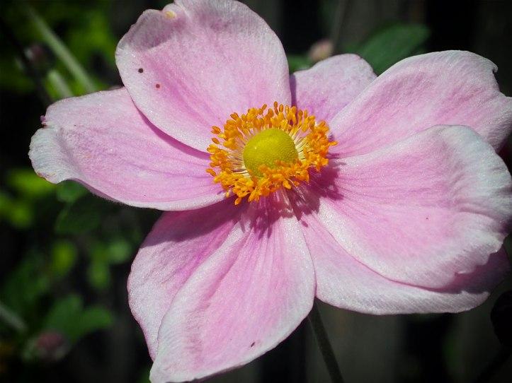 Pink Japanese Anemone
