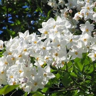 White potato vine