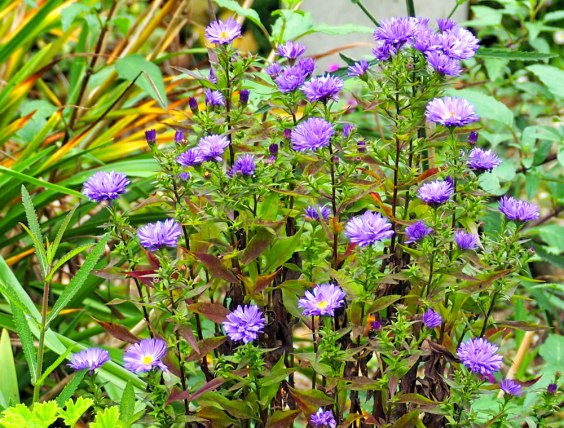 asters (2)