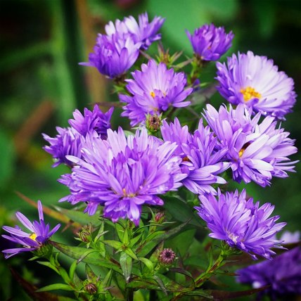 asters (3)